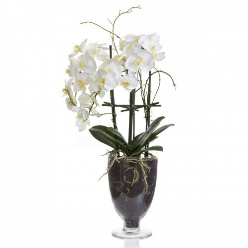 Large Housenote Orchid